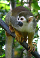 Brizillian Squirrel Monkey