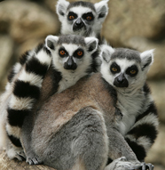 Lemur monkeys